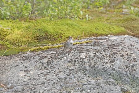 Song Sparrow cantando en una roca desnuda en Killarney Provincial Park en Ontario, Canadá Foto de archivo - 88072546