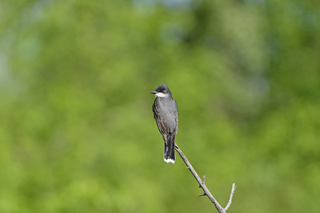 Eastern Kingbird on a Woodland Branch in Theodore Roosevelt National Park in North Dakota Stock Photo