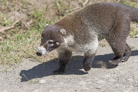 Close up of a Coati near Monteverde, Costa Rica Stock Photo