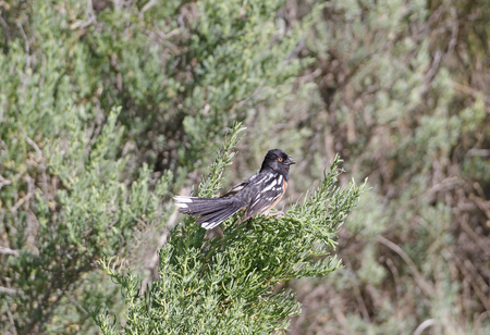 Spotted Towhee Singing in the Badlands on Theodore Rooseveldt National Park in North Dakota