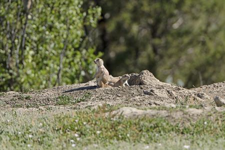 Prairie Dogs on the Lookout in Theodore Roosevelt National Park in North Dakota Stock Photo