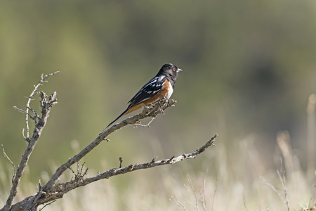 Spotted Towhee in the Badlands on Theodore Rooseveldt National Park in North Dakota