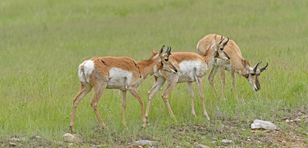 Trio of Pronghorn on a Prairie Ridge in Custer State Park in South Dakota