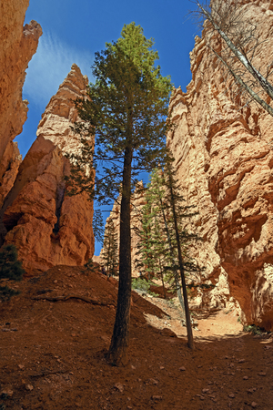 Lone Pines in a Deep Canyon in Bryce Canyon National Park in Utah