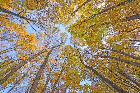 Looking up into a Catherdral of Yellow Trees in Great River Bluffs State Park in Wisconsin Stock Photo