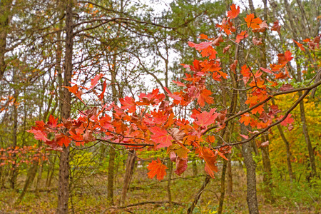 Red Maple Leaves in Fall in Mark Twain State Park in Missouri