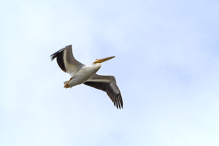 American White Pelican Flying Overhead in the Santee Coastal Reserve in South Carolina