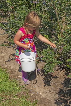 Little Girl Picking Blueberries near Saugatuck Michigan