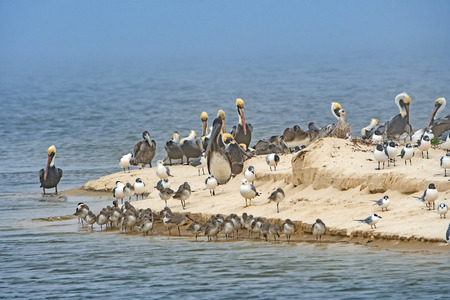 Pelicans and other shore birds on a Sandy Peninsula in Bald Point State Park in Florida