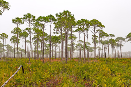 Slash Pine Trees on a Foggy Coast in Blad Point State Park in Florida