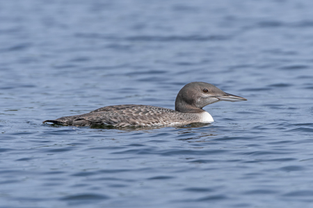 Baby Loon on Plough Lake in Quetico Provincial Park in Ontario