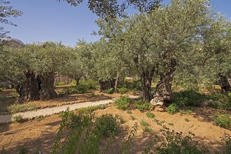Olive Trees in the Garden of Gethsemane near Jerusalem in Israel