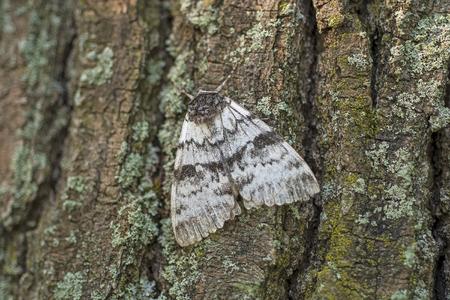 widow underwing moth resting on a tree in Killbear Provincial Park in Ontario