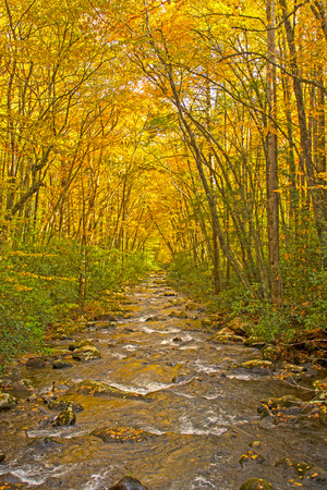 Wild Stream Flowing Through a Canopy of Yellow in Great Smoky Mountains National Park in North Carolina