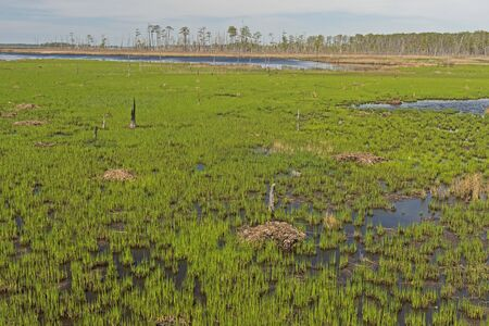 Spring Growth in Wetland Estuary in the Blackwater National Wildlife Refuge in Maryland