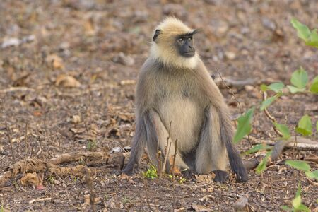 A Gray Langur Relaxing in the Forest in Nagarhole National Park in India