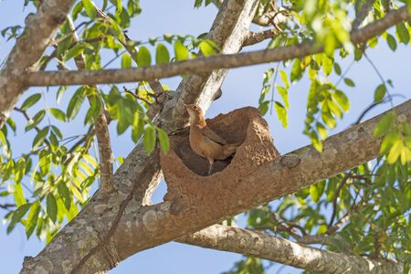 Rufous Hornero on its Nest in the Pantanal in Brazil