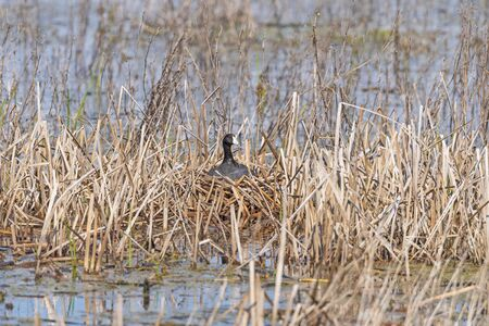 American Coot on Its Nest in a Marsh in the Horicon Marsh in Wisconsin