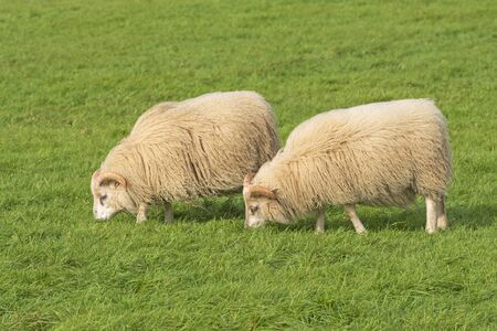 Domestic Sheep grazing in a Farm Field in Southern Iceland