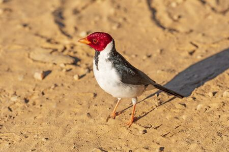 Red Crested Cardinal in the Pantanal in Brazil