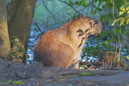 Capybara on a Secluded River Bank on the Pantanal in Brazil Banco de Imagens