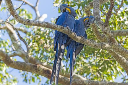 A Pair of Hyacinth Macaws in a Tree in the Pantantal in Brazil Banco de Imagens