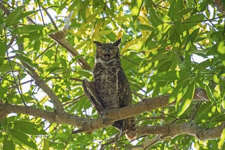A Great Horned Owl Yawning in the Canopy in the Pantanal in Brazil