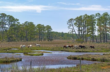 Wild Ponies Feeding in a Wetland in the Chincoteague Wildlife Refuge in Virginia Reklamní fotografie
