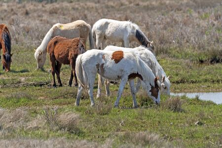 Wild Ponies in a Wetland Grassland in Chincoteague Wildlife Refuge in Virginia