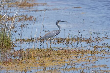 Tricolored Heron Hunting in a Wetland Pond in the Chincoteague National Wildlife Refuge in Virginia