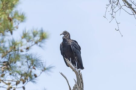 Black Vulture in a Old Dead Tree in the Chincoteague National Wildlife Refuge in Virginia