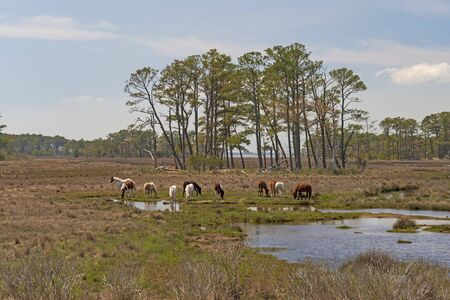 Wild Ponies Feeding in a Coastal Wetland in the Chincoteague National Wildlife Refuge in Virginia Reklamní fotografie