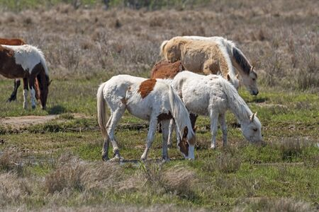 Colorful Wild Ponies Grazing in a Wetland in Chincoteague National Wildlife Refuge in Virginia Reklamní fotografie