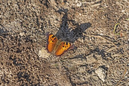 California tortoiseshell Butterfly in Migration in Lassen Volcanic National Park in California 写真素材