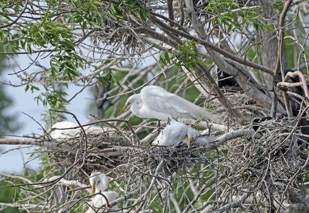 Great Egret on Its Nest by Grotto Lake in Fergus Falls, Minnesota