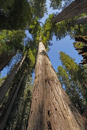 Coastal Redwoods Soaring into the Sky in Jedidiah Smith Redwoods State Park in California Stock fotó