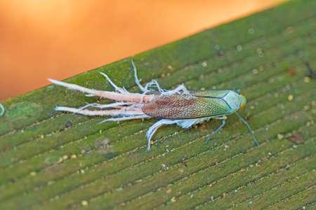 Unusual Lacewing Insect in the Rainforest near Alta Floresta Brazil