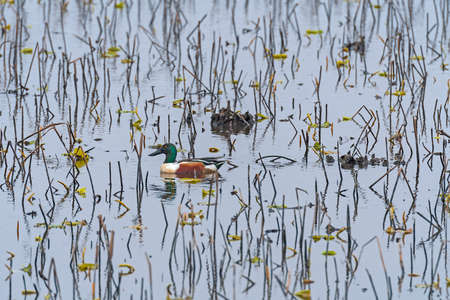 Northern Shoveler in the Wetland Reeds in Anahuac National Wildlife Refuge in Texas Banque d'images