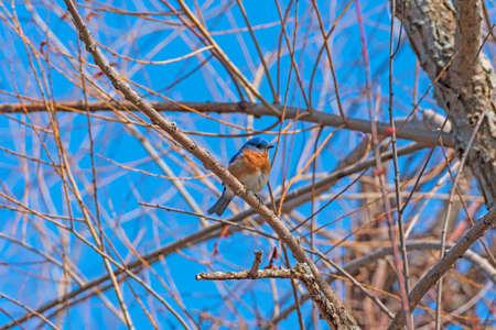 Eastern Bluebird on a Cold Sunny Morning in Indiana Dunes National Park in Indiana