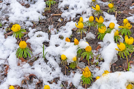 Winter Aconites Pushing Up Through the Snow in Illinois