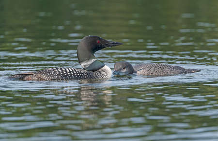 Adult and Baby Loon Bonding in a Lake in the Sylvania Wilderness in Michigan