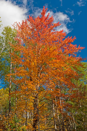 Colorful Leaves Erupting into the Sky in Governor Thompson State Park in Wisconsin