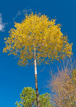 Yellow Birch Against a Blue Sky in Governor Thompson State Park in Wisconsin