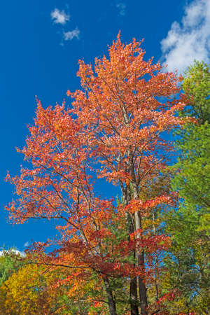 Red Leaves Against a Blue Sky in Governor Thompson State Park in Wisconsin Stock fotó