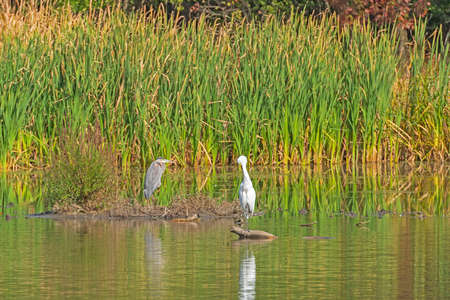 Great Blue Heron and a Great Egret on a Grassland shore in Ned Brown Preserve in Illinois Imagens
