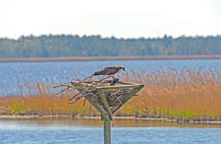 Osprey With Fish Feedings Its Young in the Blackwater Wildlife Refuge in Maryland