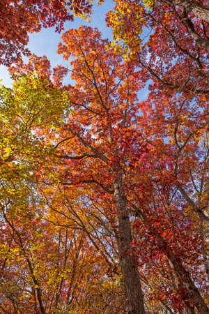 Underneath a Red Autumn Canopy in Starved Rock State Park in Illinois Banque d'images
