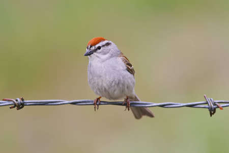 chipping: Chipping sparrow perched on barbed wire Stock Photo