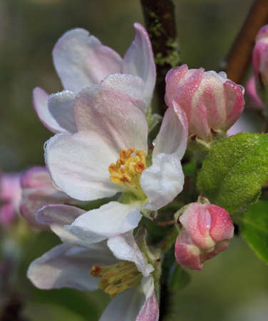 Center of apple blossom flower with water droplets photo