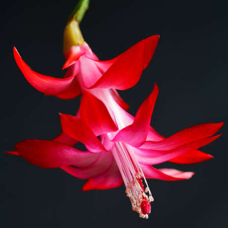 Single Christmas Cactus flower in full bloom with center view
